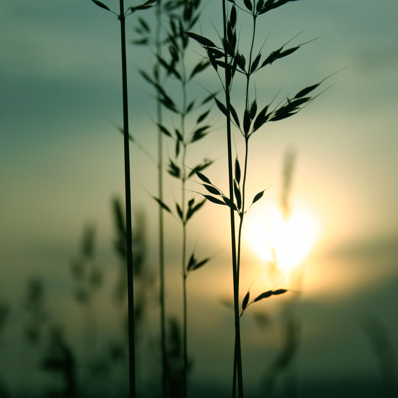 wheat-4589760_Medium-web